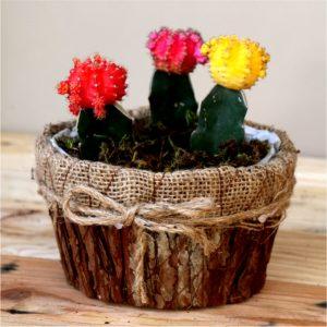 Small round bark pot with Cactie
