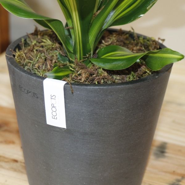 70063176 - Coast dragon Plant - Dracaena Fragrans Gold Coast (4)