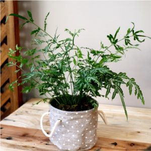 Polka dot planter with Silver Lace fern