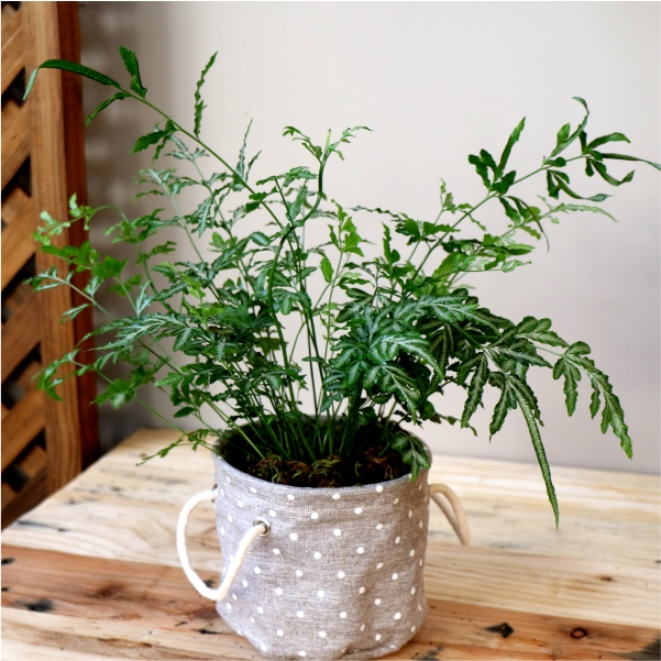 70063177 -Polka dot planter with Silver Lace fern