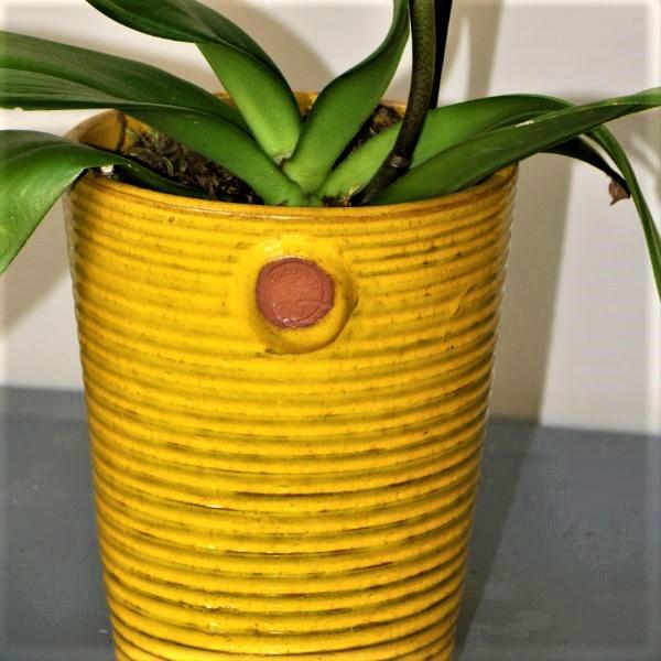 70063180 - Moth Orchid - Phalaenopsis Amabilis (2)