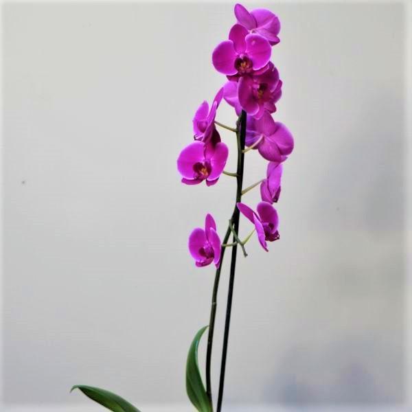 70063180 - Moth Orchid - Phalaenopsis Amabilis (3)