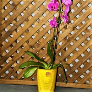 Pink Orchid in yellow pot