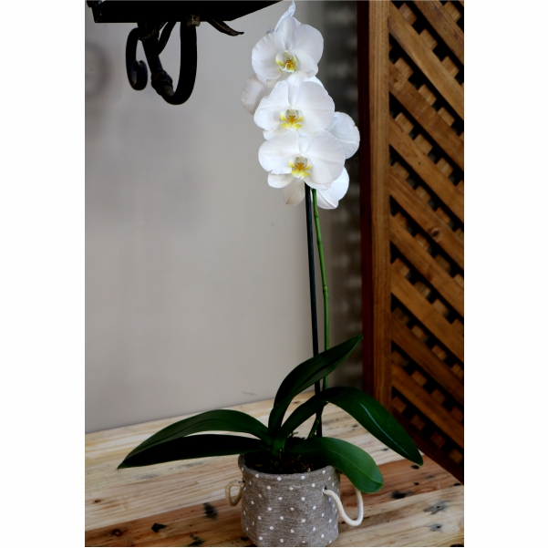 70063181 -White Orchid in spotted pot holder
