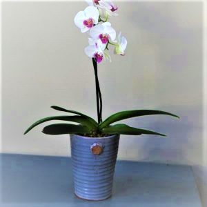 White Orchid in grey pot