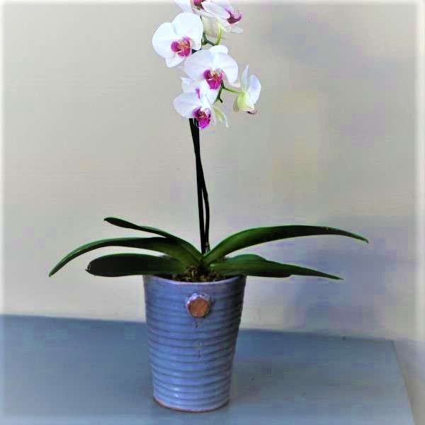 70063182 - White Orchid in grey pot