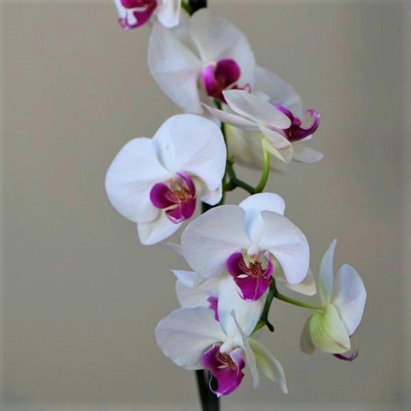 70063182 - Moth Orchid - Phalaenopsis Amabilis