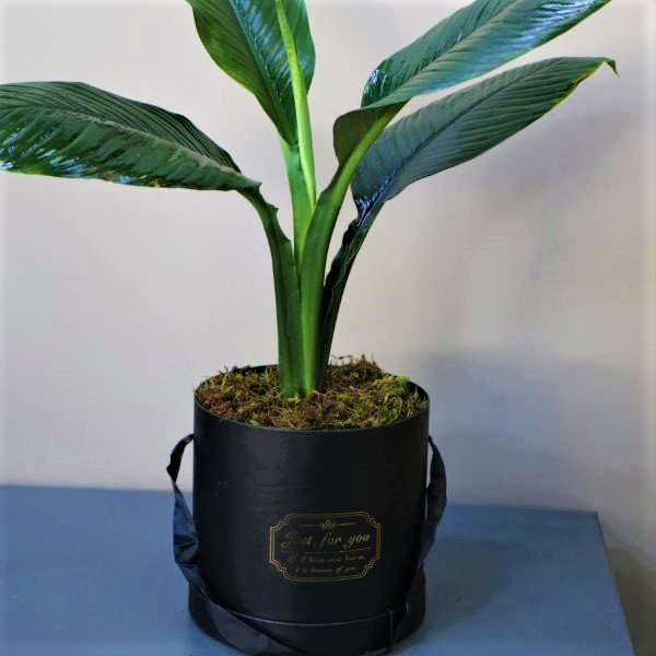 70063183 -Black hat box with Giant Peace lily