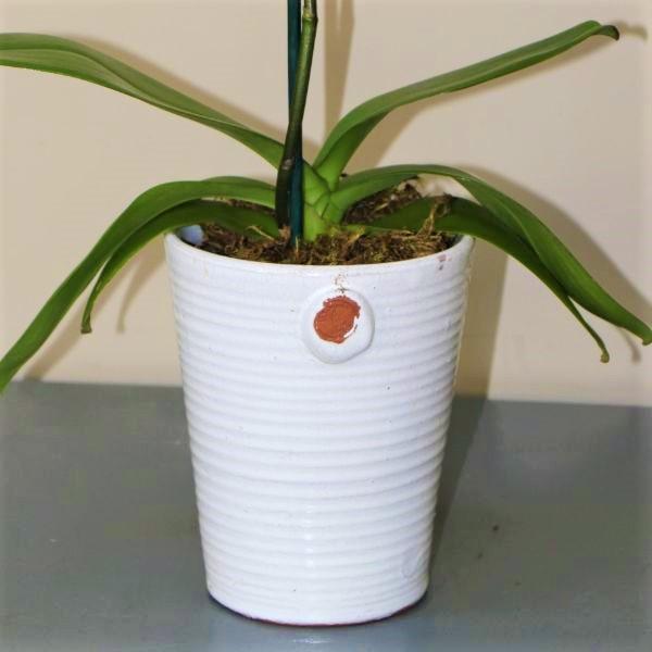 70063184 - Moth Orchid - Phalaenopsis Amabilis (4)