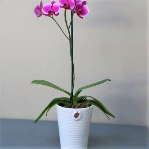 Pink Orchid white pot