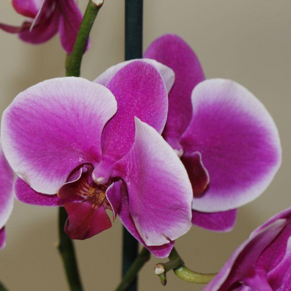 70063184 - Moth Orchid - Phalaenopsis Amabilis (9)