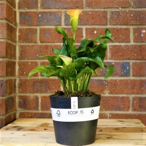 Eco Pot with Calla Lily