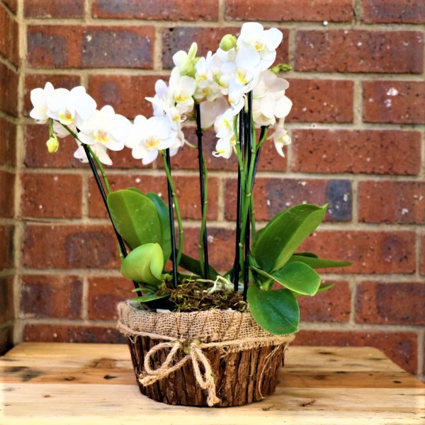 70063242 - 3 Mini Moth Orchids In bark Container