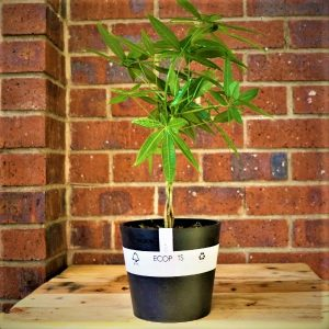 Eco pot with Money tree