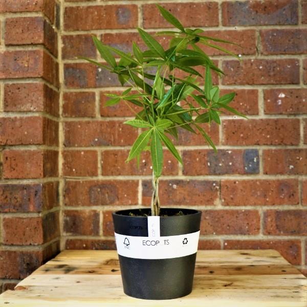 70063244 - Eco pot with Money tree