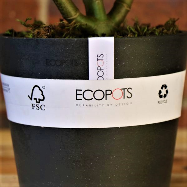 70063246 - Eco pot with round Leaf Naval Wort (3)