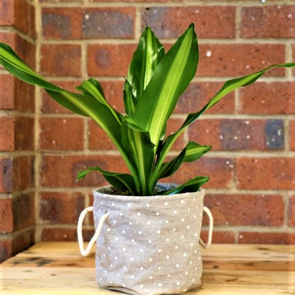 70063250 - Rounder Planter Bortanique with Coast Dragon Plant