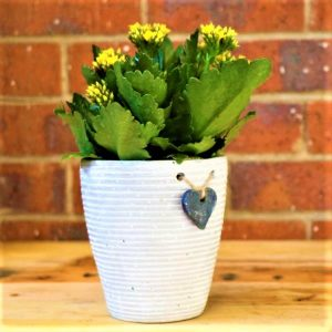White Striped pot with Kalanchoe Plant