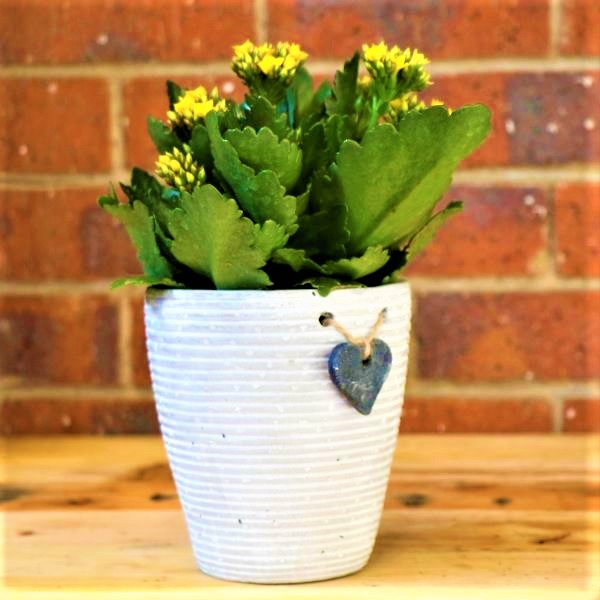 70063251 - White Striped pot with Kalanchoe plant