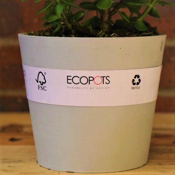 70063255 - Eco pot with Round Leaf Naval Wort (2)