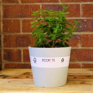 Eco pot with Round Leaf Naval Wort