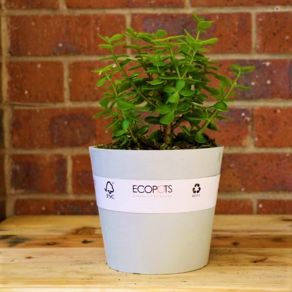 70063255 - Eco pot with Round Leaf Naval Wort