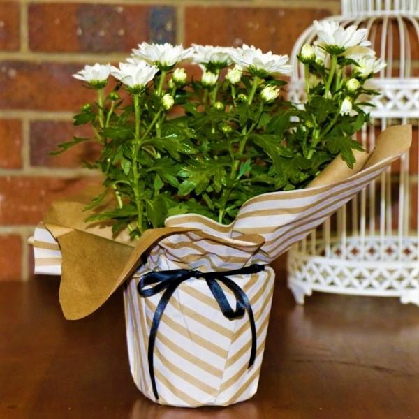 70063369 - Wrapped Chrysanthemum