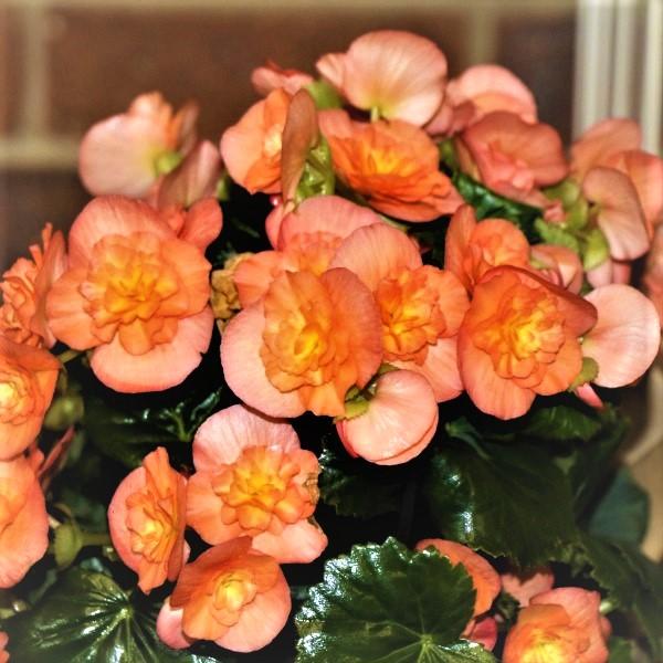 70063370 - Wrapped Begonia Elator (3)