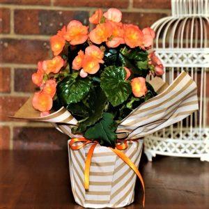 Wrapped Begonia Elator