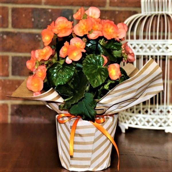 70063370 - Wrapped Begonia Elator