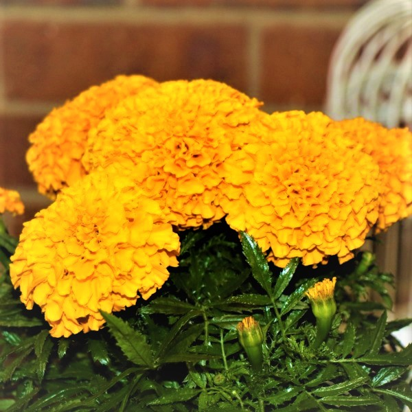 70063372 - Wrapped Mexican Marigold (2)