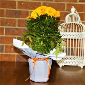 Wrapped Mexican Marigold