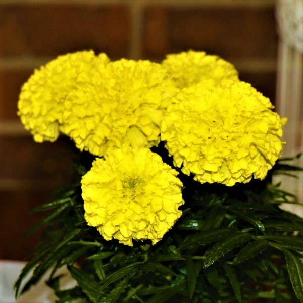 70063372 - Wrapped Mexican Marigold (4)