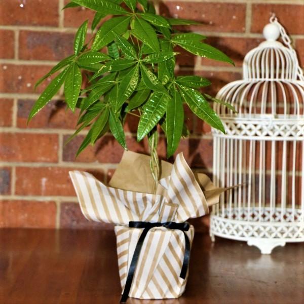 70063380 - Wrapped Money Tree Plant