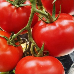 Mayford Tomato Seeds