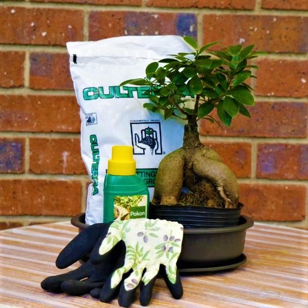 7003489 - Bonsai Ficus Ginse with Shallow Pot , saucer,Bonsai food,potting soil And green garden gloves