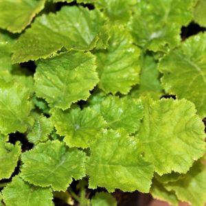 Primula Malacoides 4/6 cavity trays