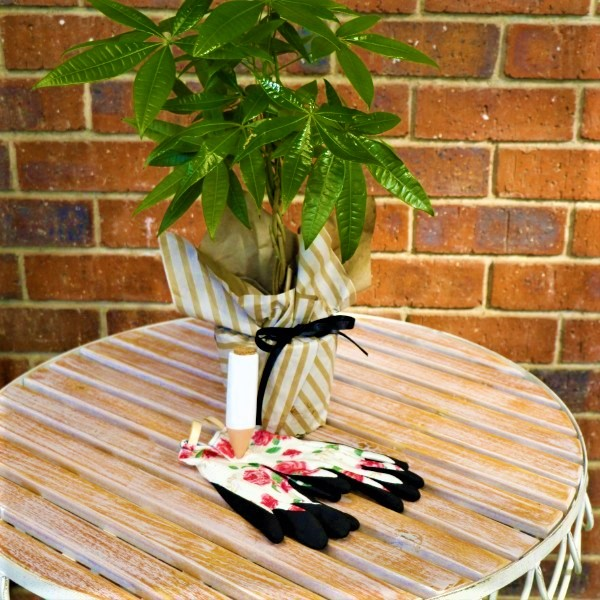 70063808 - Wrapped Money Tree with Waterplug Stick And Garden Gloves