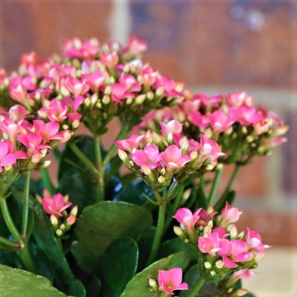 70063256- Eco Pot Planter Botanique with Kalanchoe (2)