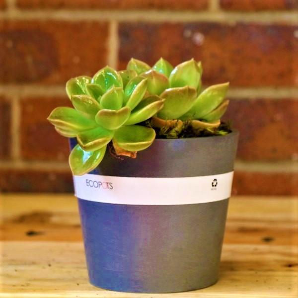 70063257 - Grey Eco pot with Rock Rose