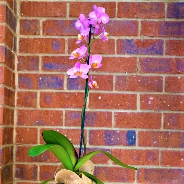 70063260 - Hessian Bag Moth Orchid (2)