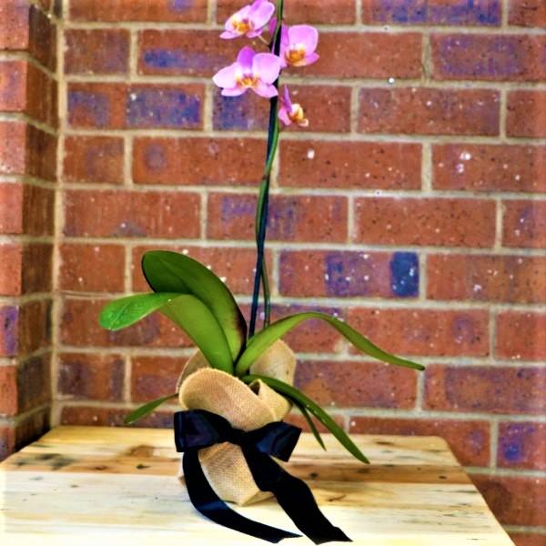 70063260 - Hessian Bag Moth Orchid
