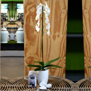 White Phalaenopsis with message stone,Orchid pot and Brockytony