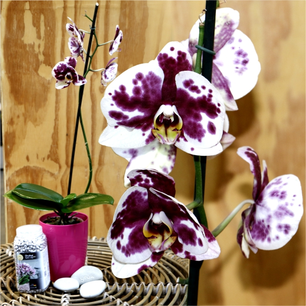 70063872 - Burgundy Phalaenopsis with message stone,Orchid pot and Brockytony (try this)
