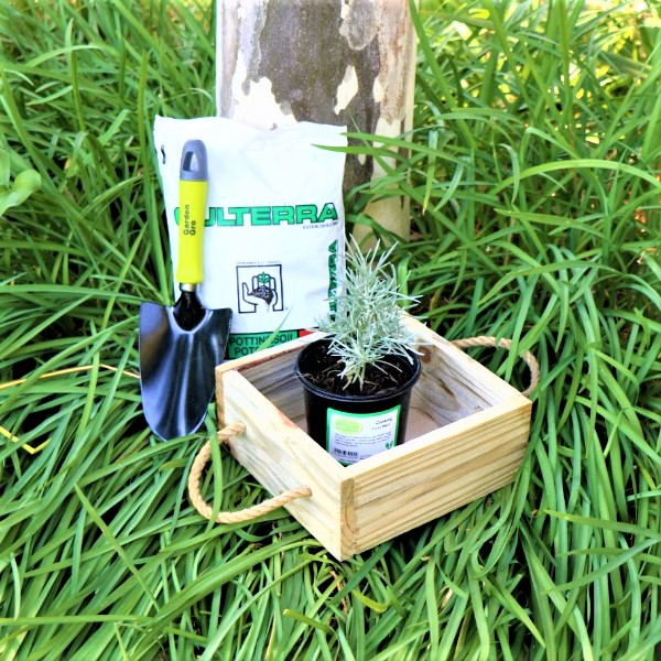 70063912 - Wooden Box with Potting Soil , Garden Trowel And Selected Living herb
