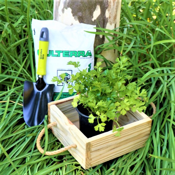 70063913 - Wooden Box with Potting Soil , Garden Trowel And selected Living herb