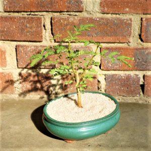 Acacia Bonsai in a glazed bonsai pot