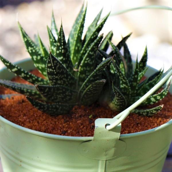 70063982 - Zinc Bucket Green15cm + Succulent (3)