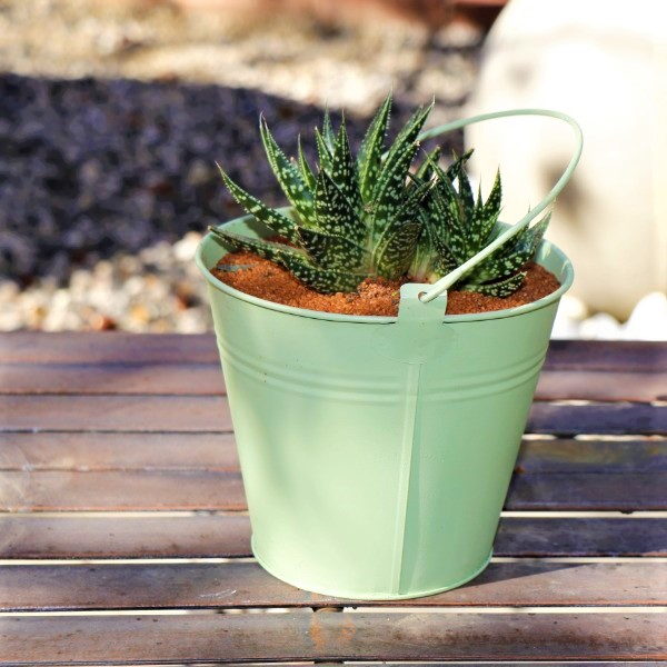 70063982 Oval Zinc Bucket With a selection of miniature Aloe species