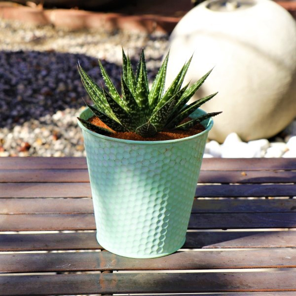 70063983 -Round Zinc Planter - Honey Green - With a selection of miniature Aloe species